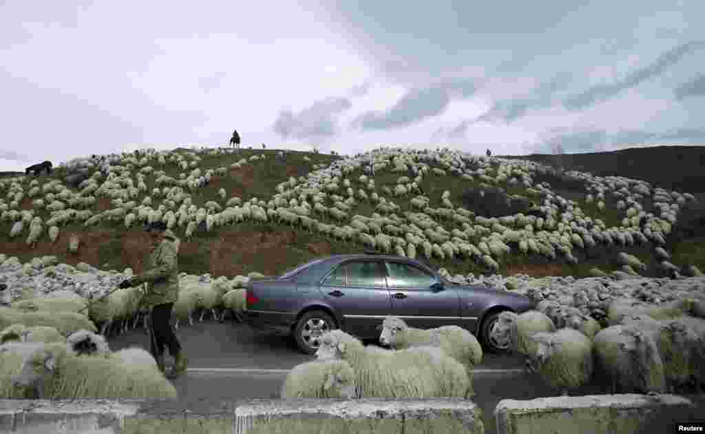 A car is surrounded by sheep as they return home from grazing fields outside Tbilisi, Georgia.