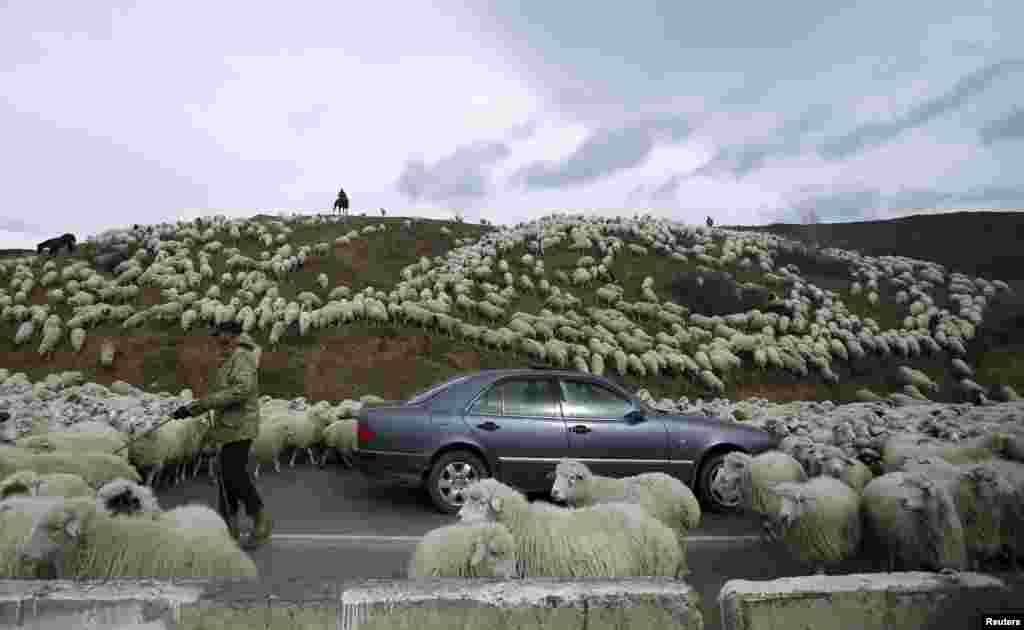 그루지아 트빌리시 외곽 도로에서 자동차가 풀을 먹고 돌아오는 양떼에 둘러쌓여있다.