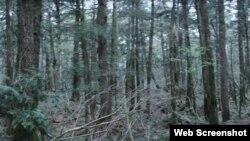 جاپان کے اوکی گاہارا کا جنگل ایک منظر جو خودکشی کے جنگل کے نام سے جانا جاتا ہے۔