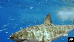 آسٹریلیا: شارک کی نئی نسل کا انکشاف