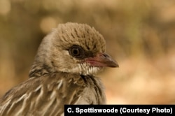 A female honeyguide