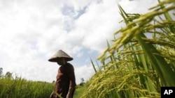 Nông dân làm việc trên một ruộng lúa ở ngoại thành Hà Nội