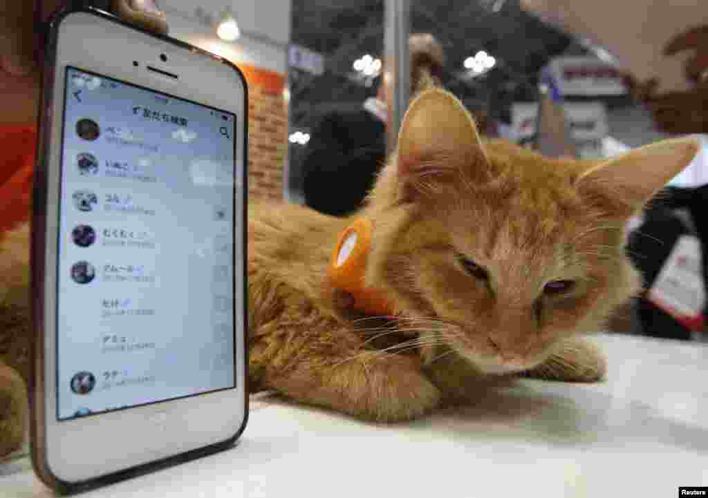 "A cat wears a ""Tsunagaru Col"" gadget next to a smart phone displaying the connected app, at the Anicall Corp booth during the Wearable Device Technology Expo in Tokyo, Japan. The gadget (Tsunagaru means connection) for animals information about pets, such as the location and other animals the pet might be interacting with, for the purpose of providing ""social networking"" for animals."