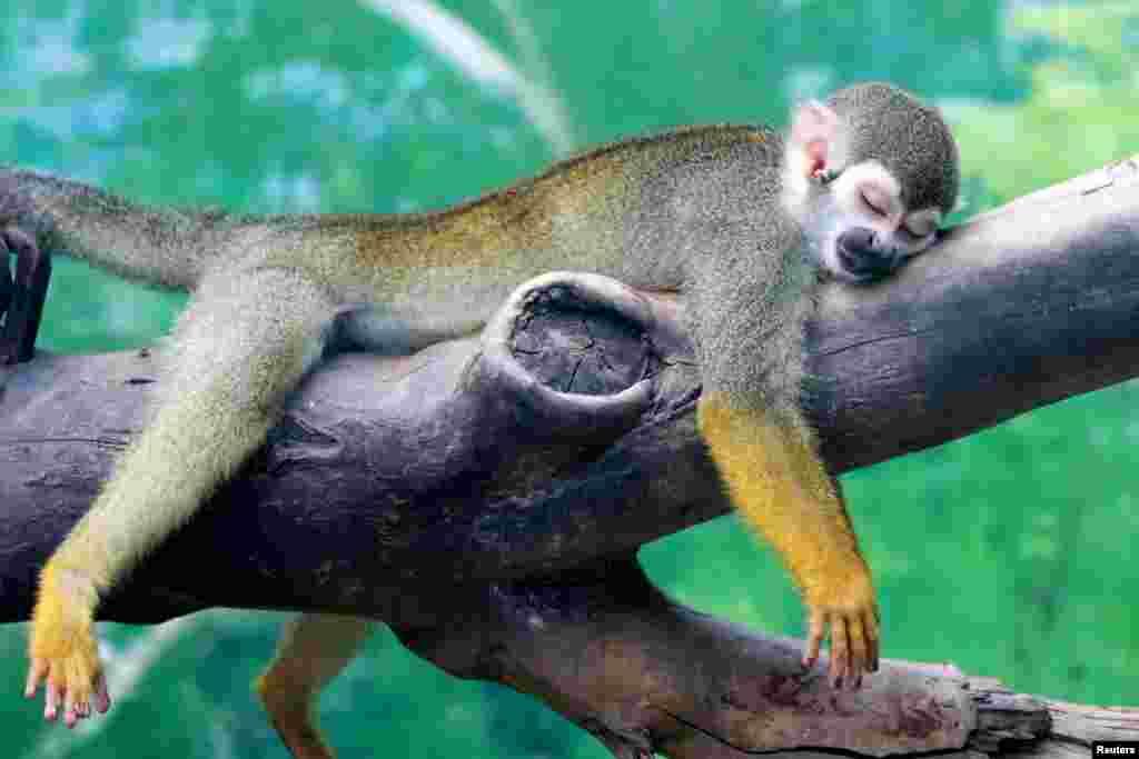 Çin'de Zhengzhou hayvanat Bahçesinde sıcaktan bunalmış maymun