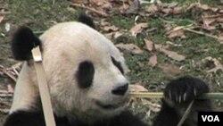 El oso panda es símbolo de China y se encuentra en peligro de extinción.