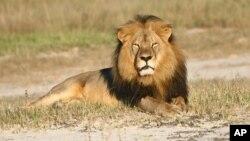 Chú sư tử nổi tiếng là thân thiện Cecil sống trong Công viên Quốc gia Hwange ở Zimbabwe. Sư tử Cecil đã bị nha sĩ Walter Palmer giết chết và lột da.