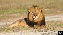 Le lion Cecil