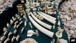 Ivory tusks and carvings are displayed at the New York State Department of Environmental Conservation office in Albany, N.Y, December 2012.