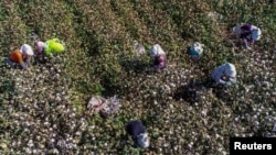中國新疆哈密的農民在摘棉花。 (2018年10月14日)