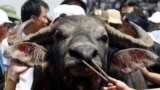The winning buffalo is led by the nose after a buffalo fighting festival in Vietnam - RTR1U0U1