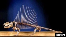 A skeleton of a Dimetrodon, an ancient relative of mammals, is shown in this handout photo provided by The Field Museum in Chicago, Illinois, Sept. 3, 2014.