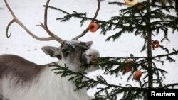 Investigadores descubren que los ojos de los renos cambian de color según las estaciones.