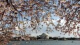 Cherry Blossoms Signal Start of Spring