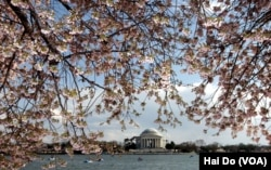 The cherry blossoms around the Tidal Basin