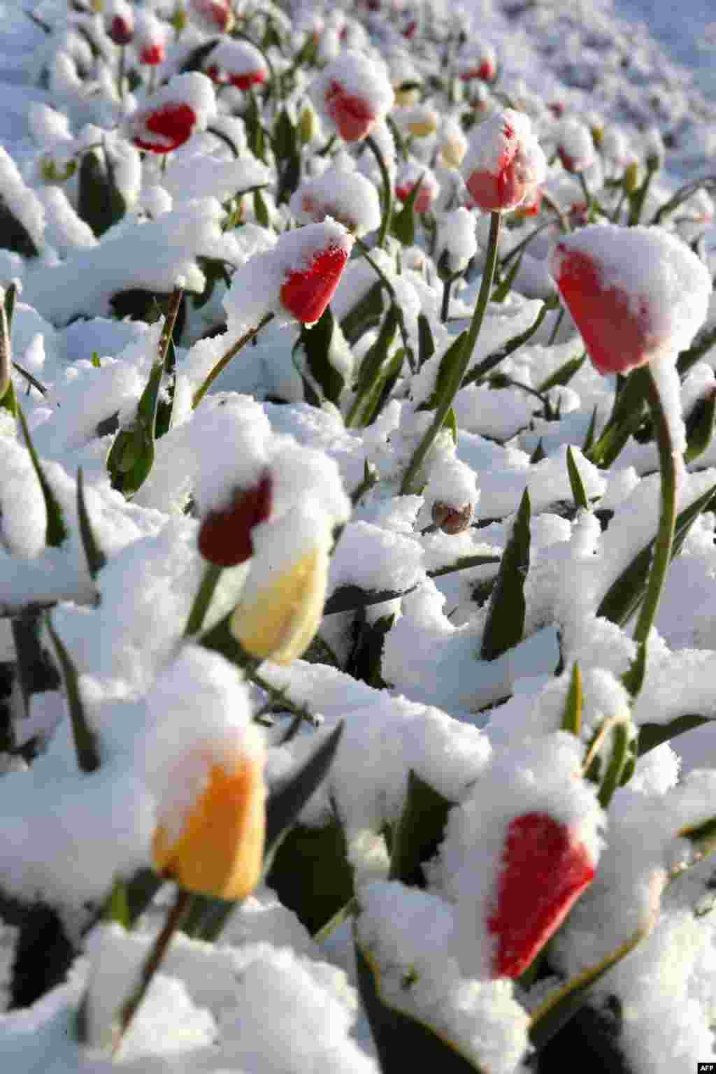 ផ្កា Tulip ដែលកំពុងរីកត្រូវបានគ្របពីលើដោយព្រិលទឹកកកនៅលើទីវាលមួយនៅក្រុង Hohenschaeftlarn ភាគខាងត្បូងប្រទេសអាល្លឺម៉ង់។ តំបន់ដែលមានសម្ពាធទាបនៅភាគខាងជើង និងខាងកើតអឺរ៉ុបបាននាំយកនូវខ្យល់ពីតំបន់ប៉ូលជាមួយនឹងសីតុណ្ហភាពត្រជាក់ និងព្រិលទឹកកកទៅកាន់ក្រុង Bavaria។