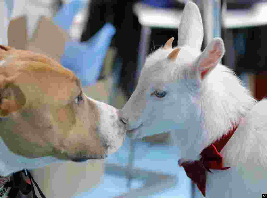 A baby goat kisses a dog at the Pet Expo 2019, a pet show in Bucharest, Romania, April 13, 2019.