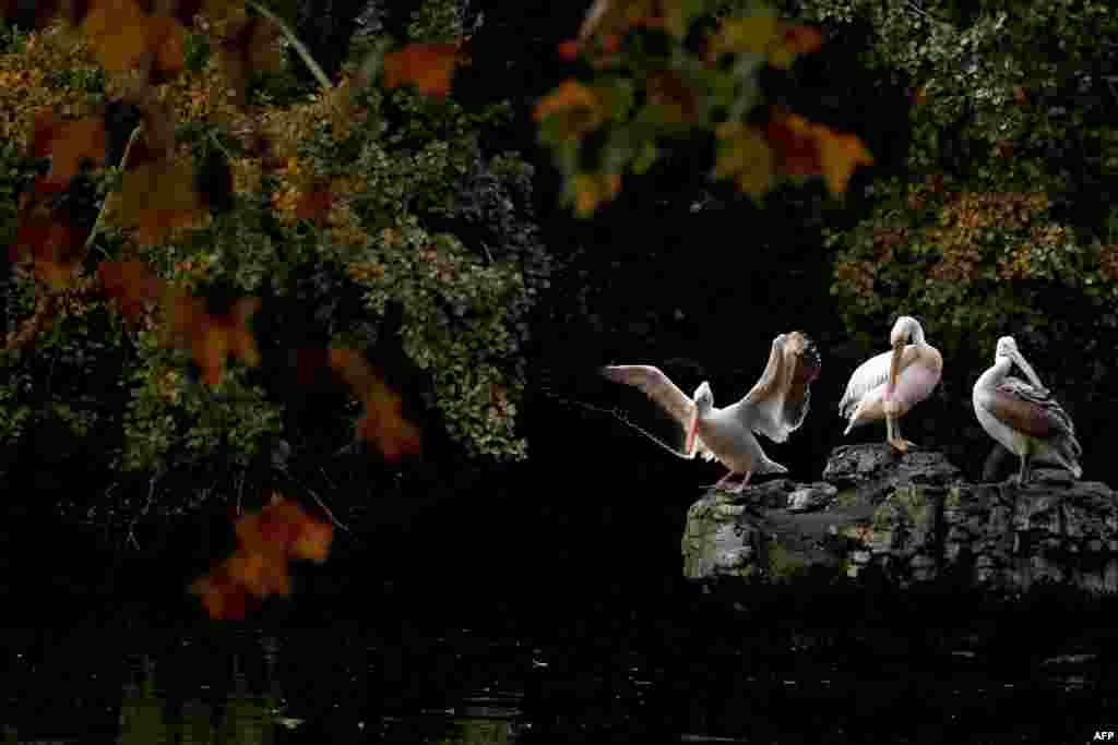 Pelicans are seen in St. James's Park in central London.