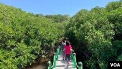 Hutan mangrove di Wongsorejo, Banyuwangi, Jawa Timur, menjadi tujuan ekoturisme baru yang menarik wisatawan dalam dan luar negeri.(Courtesy: Eva Mazrieva/VOA)
