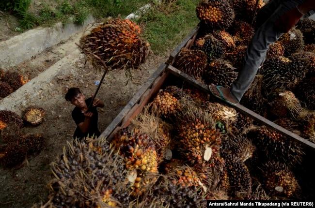 Seorang pekerja memuat buah sawit di sebuah perkebunan kelapa sawit. (Foto: Antara/Sahrul Manda Tikupadang)
