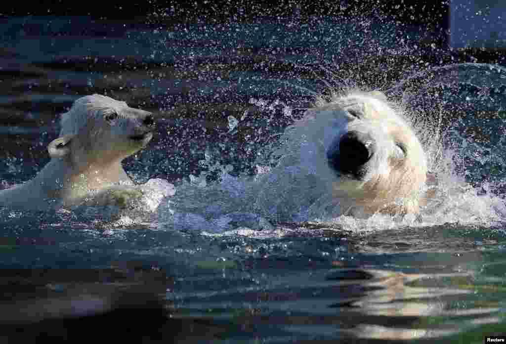 """شنا و بازی """"نانوک"""" توله خرس قطبی با مادرش """"سسی"""" در باغ وحشی در شهر مولوز در فرانسه."""