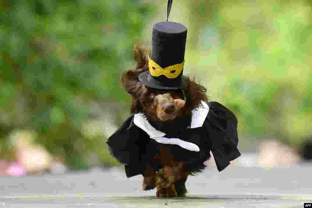 A dachshunds is dressed in an outfit during the eighth annual Dachshunds Parade in Saint Petersburg, Russia, May 25, 2019.