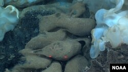 Sponge the Size of Minivan Found in Hawaiian Waters