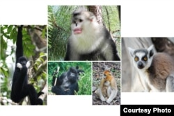 Primates at risk,Endangered nonhuman primates include, clockwise from top center, the black and white snub-nosed monkey, the ring-tailed lemur, the golden snub-nosed monkey, the mountain gorilla. Photos by Paul Garber, Matthias Appel, Ruggiero Richard, Fan Peng-Fei.