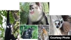 Primata-primata di luar manusia yang menghadapi kepunahan.