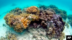This Nov. 26, 2009 file photo shows orange colored ringed rice coral, or montipora patula, is waters off Waimanalo, Hawaii. (AP Photo/Keoki Stender, File)