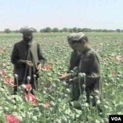 Svi o njemu govore: Mak u Afganistanu