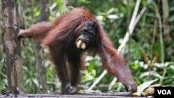 Seekor orangutan di Taman Nasional Tanjung Puting, Kalimantan. (Foto: Dok)