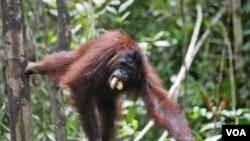 Seekor orangutan di Taman Nasional Tanjung Puting, Kalimantan (foto: dok). Orangutan banyak dibunuh masyarakat karena dianggap sebagai hama perkebunan.