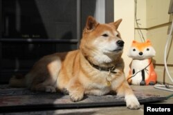 Mimi Owen, an 11 year-old Shiba Inu, takes a break from campaigning and lies on a porch in Oakland, California, U.S., October 28, 2020.