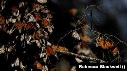 Monarch Butterflies preparing for winter near in Mexico. (AP Photo/Rebecca Blackwell)