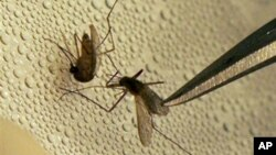 Nyamuk yang menjadi penyebar wabah virus West Nile di Amerika (foto: dok).