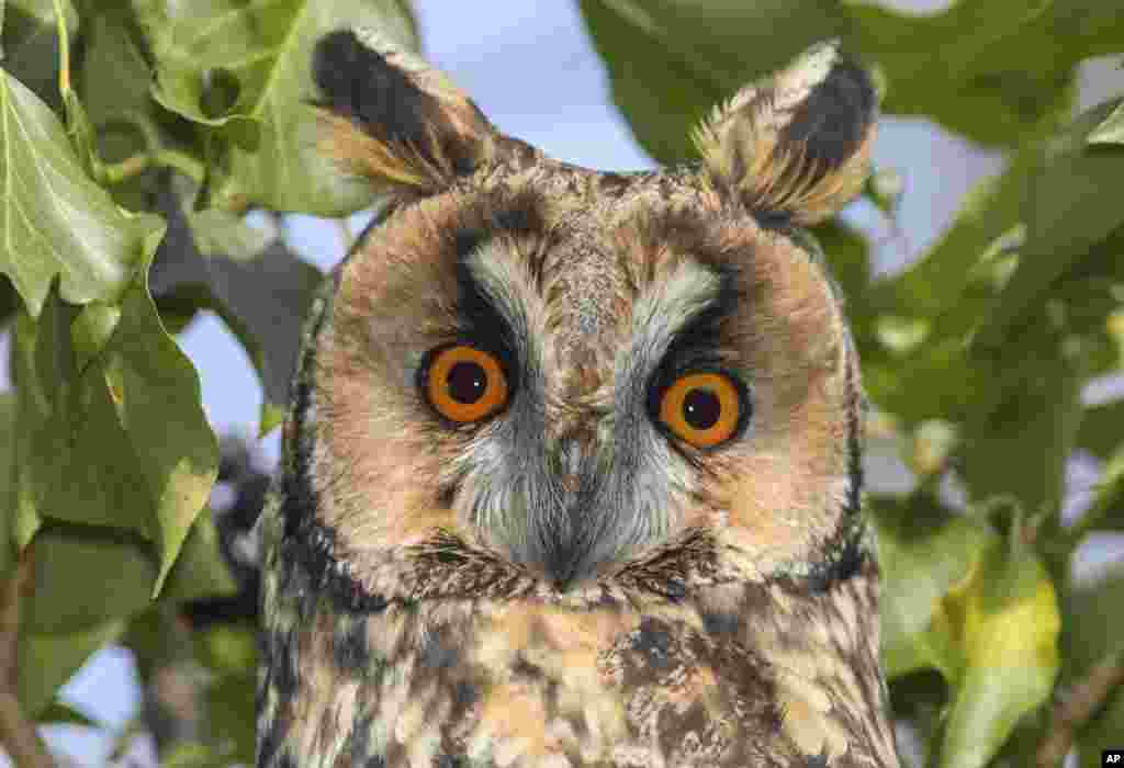 A long-eared owl sits on a tree near Lebus, eastern Germany.