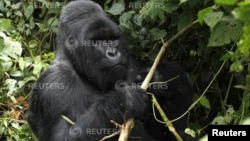 FILE - An endangered silverback mountain gorilla from the Nyakamwe-Bihango family looks for food within the forest in Virunga national park near Goma in eastern Democratic Republic of Congo.