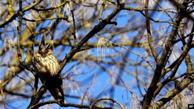 Burung Hantu Rinjani Scops ini pertama kali diidentifikasi pada 2003 dan sejak saat itu hanya dapat ditemukan di Lombok. (Foto: Ilustrasi)
