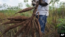 A farmer holds up a bunch of cassava roots, dug up from his farm in Oshogbo, Nigeria. Cassava is threatened by brown streak disease, but GM food technology could help to prevent the disease's impact on the crop.