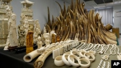 FILE - Confiscated ivory is displayed at a chemical waste treatment center in Hong Kong, May 15, 2014. Tanzania has sentenced four Chinese men to 20 years in jail each after they were convicted of smuggling rhino horns.
