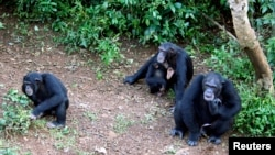 FILE - Philip, right, the dominant chimpanzee at Tacugama Chimpanzee Sanctuary, sits in an enclosure with other orphaned chimps outside Sierra Leone's capital Freetown, Aug. 14, 2007.