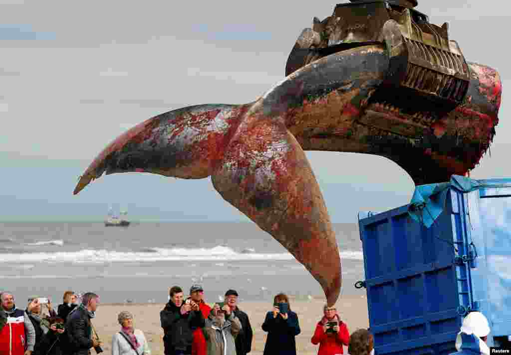 The tail of a stranded whale is seen being put into a truck on the beach at De Haan, Belgium.