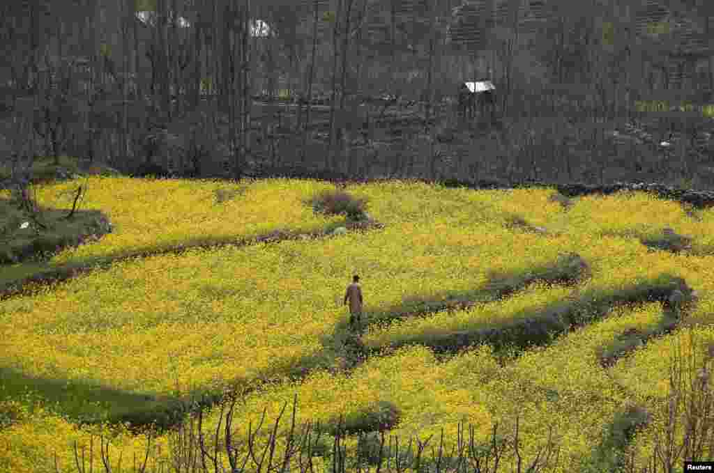 A Kashmiri man walks through a mustard field on the outskirts of Srinagar, India.