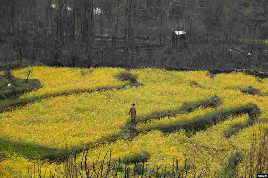 Một người đàn ông Kashmir đi qua một cánh đồng cải ở ngoại ô Srinagar, Ấn Độ.