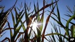 الی نوائے: خشک سالی کی شکار مکئی کی فصل