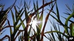 Hoa mầu héo tàn vì thời tiết khô hạn trên khắp nước Mỹ, ở Farmingdale, Illinois, 6/7/2012