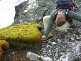 This peat moss formation (Polytrichum strictum) was found in ice-free patches on the Antarctic Peninsula. (Credit: British Antarctic Survey)