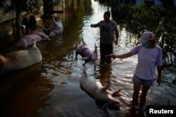 河南新鄉大洪水把農民養的豬淹死。(2021年7月25日)