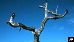Pohon kayubesi (Prosopis africana) di Senegal, Afrika Barat, adalah salah satu pohon yang mati akibat perubahan iklim.