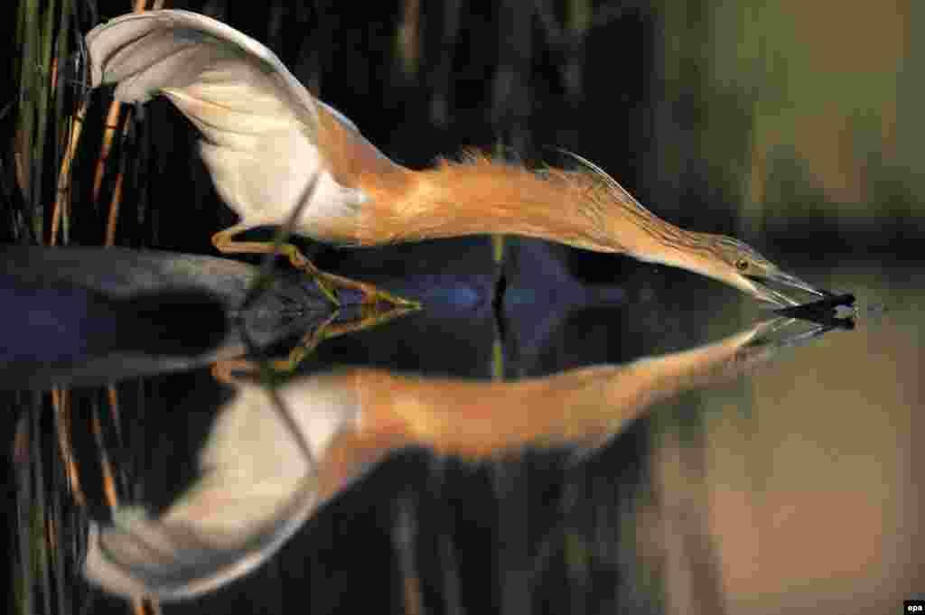 Seekor burung kuntul mencari ikan di sungai di kota Pusztaszer, Hungaria.